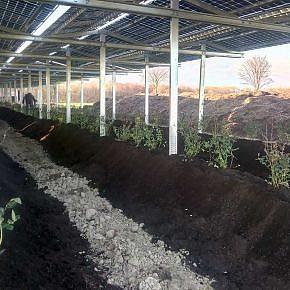 Double yield: solar power on top, berry farming below